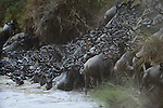Common Wildebeests, Mara River, Kenya