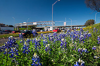 Spring bluebonnet wildflowers paint the interstate highway along I-35 in downtown Austin, Texas.
