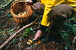 Harvesting wild chanterelle mushrooms in the autumn in the Coast Range of Oregon