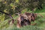 Geladas, Semien Mountains National Park, Ethiopia