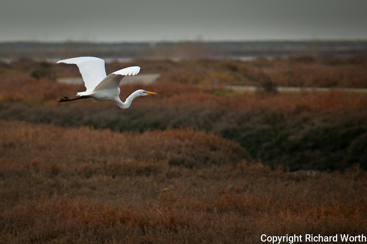 Golden bill, white wings and body, then black legs and feet - a Great Egret takes to the air at the Hayward shoreline.