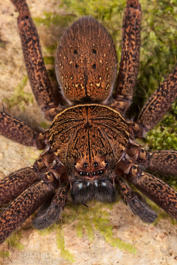 Huntsman Spider {Sparassidae} hunting prey on tree trunk at night. Danum Valley, Sabah, Borneo, Malaysia.
