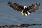 A close up of a bald eagle fishing at Kachemak Bay in Homer, Alaska.