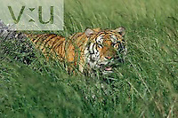 A Bengal tiger in the tall grass. ,Panthera tigris,