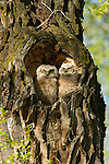 Two great horned owlets sit in their nest in the heart-shaped hollow of a cottonwood tree in Grand Teton National Park, Wyoming.