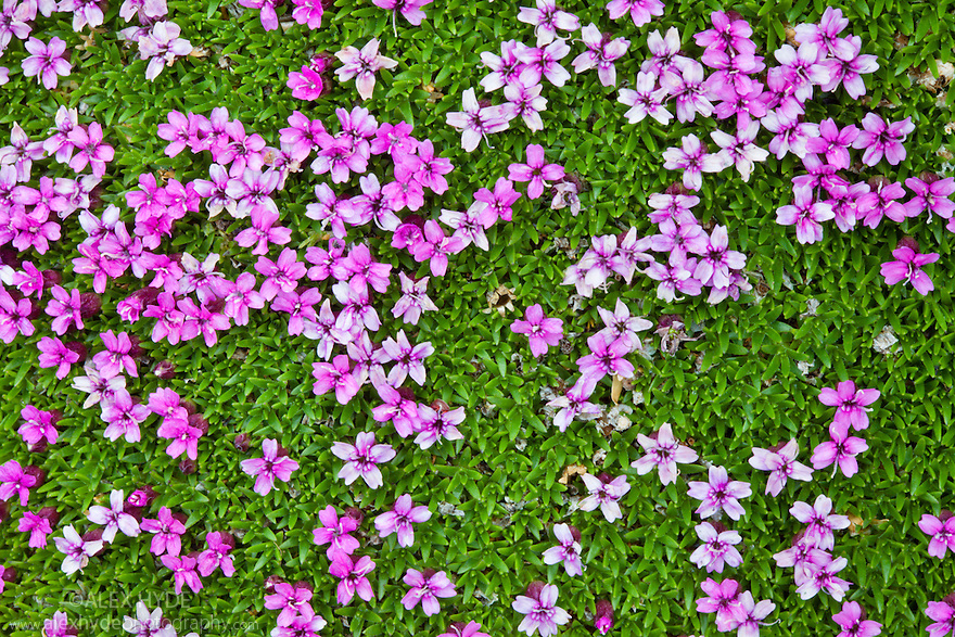 Moss Campion {Silene exscapa} forms low, dense mounds that hug the mountain side  as an adaption to the cold conditions. Nordtirol, Tirol, Austrian Alps, Austria, 2500 metres, July.