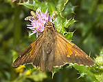 Skipper type butterfly with fly on flower.