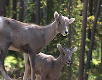 Big horn (Ovis canadensis) lambs are born in the spring, usually out on a stark and steep ledge to protect both ewe and lamb from predators. In Yellowstone, these young lambs can often be seen in the Calcite cliffs or on Mt Washburn areas in late May.