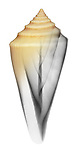 Blended x-ray image of a cone shell (Conus teramachii, on white) by Jim Wehtje, specialist in x-ray art and design images.