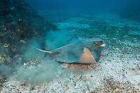 QZ0067-D. Australian Bull Ray (Myliobatis australis), also called Southern Eagle Ray. 1 m wide, feeds on crustaceans, molluscs, and worms in the sand. Some scientists believe this may be the same species as the New Zealand Eagle Ray (Myliobatis tenuicaudatus). Australia, Pacific Ocean.<br /> Photo Copyright &copy; Brandon Cole. All rights reserved worldwide.  www.brandoncole.com