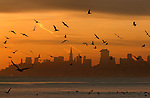 Thousands of pelican feed off the San Francisco Bay during sunrise, California.