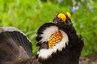 Close-up of the male sooty grouse during courtship as he tries to woo the female I was photographing just prior to his arrival, flying over my head then landing just a few feet away.