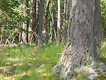 deer napping in soft, green grass at the edge of a forest on an island in the San Juan Islands, wakes alert at a noise