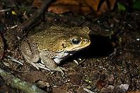Marine Toad or Cane Toad (Bufo marinus) near pond, Playa Bluff Lodge, Panama