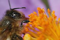 Bee on a rockrose flower.