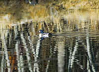 A male goldeneye duck floats serenely amongst the surreal reflections of aspen trees in autumn. His beautiful blue head is also reflecting.