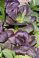 Pak Choi Purple F1 salad greens vegetable with purple red and green foliage leaves