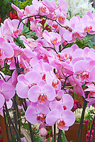 Orchids, pink phalaenopsis many flowers in bloom