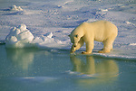 A polar bear tests the strength of the ice in Hudson Bay, Manitoba, Canada.
