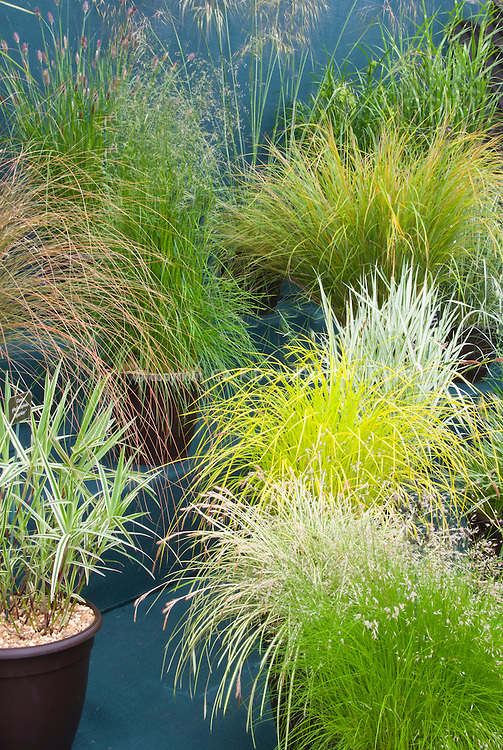 Ornamental grasses in container garden variety of plant for Best ornamental grasses for pots