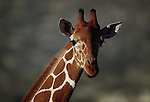 Reticulated giraffe, Africa