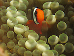 Kenting, Taiwan -- A tiny clownfish , seeking protection in the tentacles of an anemone.<br />