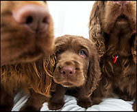 BNPS.co.uk (01202 558833)<br /> Pic: PhilYeomans/BNPS<br /> <br /> Van Bennett's Sussex Spaniel puppy Beryl.<br /> <br /> Whisper it quietly...but this puppy could be a lifeline for one of Britains rarest native dog breeds.