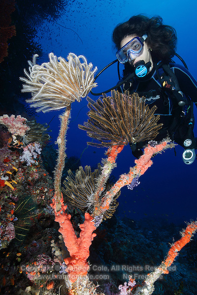 qe0656-D. scuba diver (model released) admires crinoids (species?), also called feather stars. Fiji, tropical Pacific Ocean..Photo Copyright © Brandon Cole. All rights reserved worldwide.  www.brandoncole.com..This photo is NOT free. It is NOT in the public domain. This photo is a Copyrighted Work, registered with the US Copyright Office. .Rights to reproduction of photograph granted only upon payment in full of agreed upon licensing fee. Any use of this photo prior to such payment is an infringement of copyright and punishable by fines up to  $150,000 USD...Brandon Cole.MARINE PHOTOGRAPHY.http://www.brandoncole.com.email: brandoncole@msn.com.4917 N. Boeing Rd..Spokane Valley, WA  99206  USA.tel: 509-535-3489