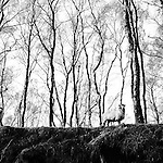 Curious sheep on hilltop with silver birch trees in the background