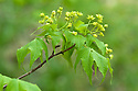 Painted or mono maple (Acer pictum syn. Acer cappadocicum var. mono), mid April. Native to Japan, Korea, China, Mongolia, and the Russian Far East.