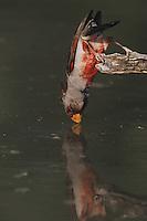Pyrrhuloxia (Cardinalis sinuatus), male drinking, Starr County, Rio Grande Valley, Texas, USA