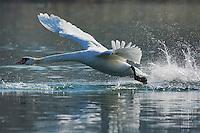 Mute Swan ( Cygnus olor), adult taking off, Lake of Zug, Switzerland