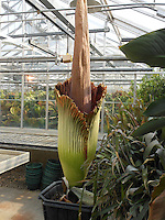 Corpse Flower blooms at UW-River Falls for the second time since 2001. The last time it bloomed was in October 2010.<br /> <br /> Photo by Deb Toftness
