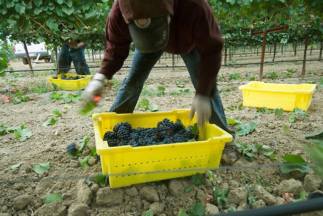 Field worker picks grapes near Yountville