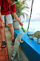 8 August 2009: Joshua Wolfstei feeds an Iguana. The Green Iguana (Iguana iguana) is found throughout the island of Bonaire. Taken along the coral coastline at Captain Don's Habitat on the island of Bonaire, in the Netherlands Antilles. Mandatory Credit: Ed Wolfstein Photo