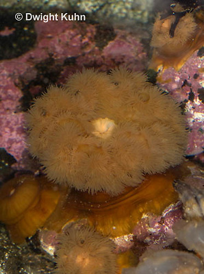 1Y23-507z  Frilled Sea Anemone, Metridium senile