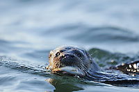 Juvenile Otter approaching shore with prey,<br /> Lutra lutra,<br /> Moray Firth, Scotland - May