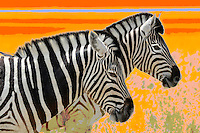 Zebra (Equus burchelli), Fisher's Pan, Namutoni, Etosha National Park, Kunene Region, Namibia.