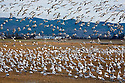 WA08095-00...WASHINGTON - A large flock of snow geese joining another flock field on the Fir Island section of the Skagit Wildlife Area.