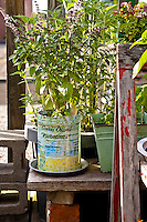 Basil plant growing in a large tin can originally containing green olives ofmr France.