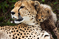 Cheetah female and her cub aged about 1 month (Acinonyx jubatus), Maasai Mara National Reserve, Kenya.