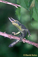"1106-07nn  Jackson chameleon ""Hunting for Prey"" - Chamaeleo jacksonii - © David Kuhn/Dwight Kuhn Photography"