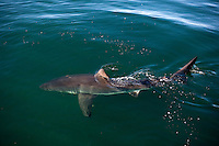Great White Shark (Carcharodon carcharias), False Bay, South Africa.