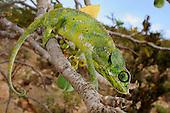 A Chameleon (Chamaeleo monachus), Socotra, Yemen.