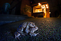 Paired Common European Toads (Bufo bufo) on a garden path at night. The National Forest, Leicestershire, UK. March.