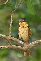 507100066 a wild female rose-throated becard pachyrampus algaiae perches on a tree branch in tamaulipas state mexico