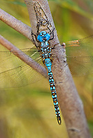 339360050 a wild male blue-eyed darner rhionaeschna multicolor perches on a tree limb near jean blanc road canal in  inyo county california