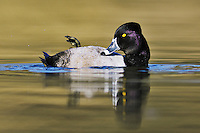 Ring-necked Duck (Aythya collaris), male preening, Dinero, Lake Corpus Christi, South Texas, USA