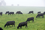 Heartland - Beef Cattle- Iowa