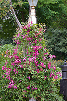 Clematis in pink color theme garden, with buxus, old fashioned water pump, hostas in bloom, house, stone wall, lamp post as support for vine